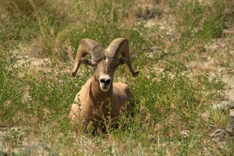 This bighorn is one of many local denizens seen along the river bank