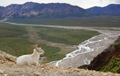 Big Horn Sheep in Denali National Park