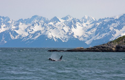 Orca Whale Swimming Near Seward. Alaska