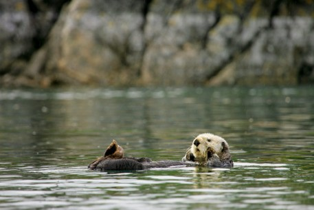Sea Otter in Kenai Fjords