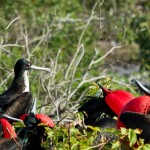 Clusters of Magnificent Frigatebirds are found around the Galapagos Islands. The males spotted here are showing off their red throat pouch, which inflate like balloons during breeding season as they court their female friends. Photo: Justin Bailie