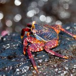 Sally Lightfoot crabs are abundant on the rocky shores of the Galapagos Islands. They are easy to spot, but good luck catching one of these quick-moving crabs. Photo: Justin Bailie