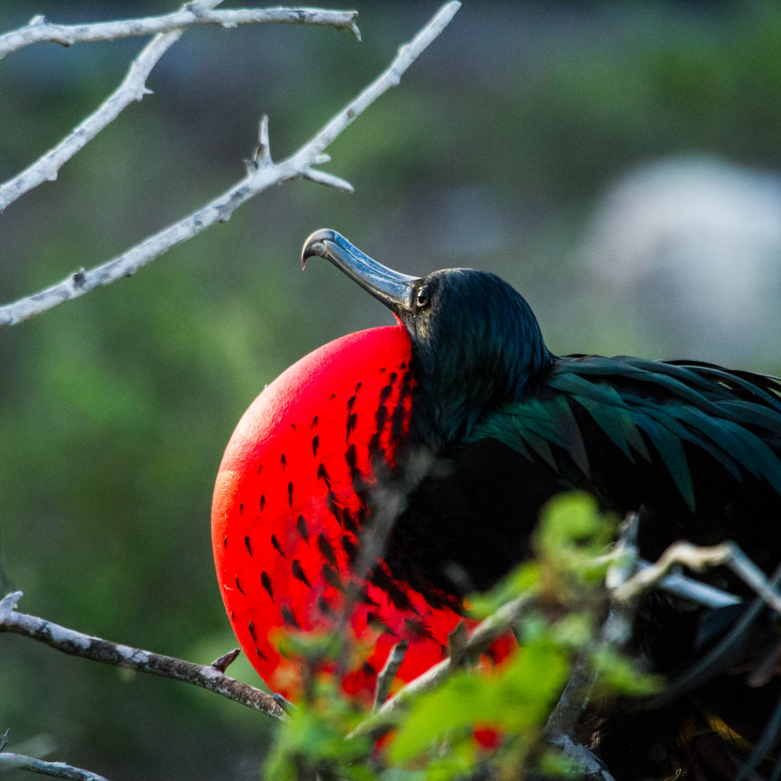 Galapagos Red Bird