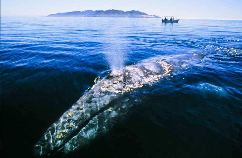 What to Do in Baja | Whale Watching in Magdalena Bay